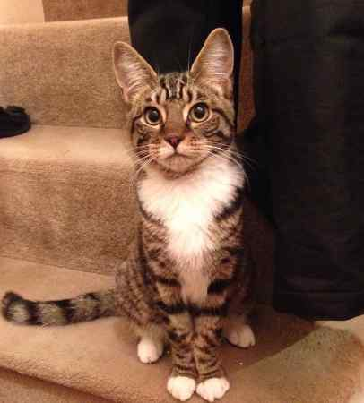 Found Tabby Cat in North Wembley