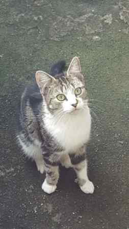 Found Tabby Cat in DUDLEY
