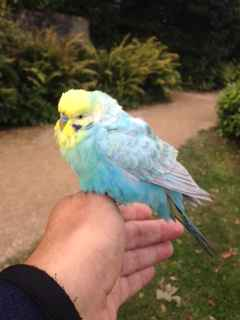 Found Budgie Bird in Bath