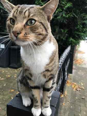 Found Tabby Cat in Streatham