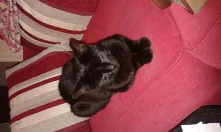 Found Domestic Short Hair Cats in Ruthin
