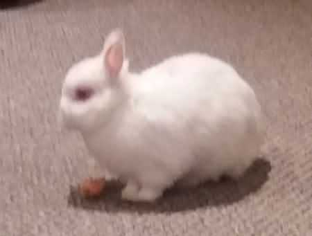 Found Unknown - Other Rabbits in Manchester