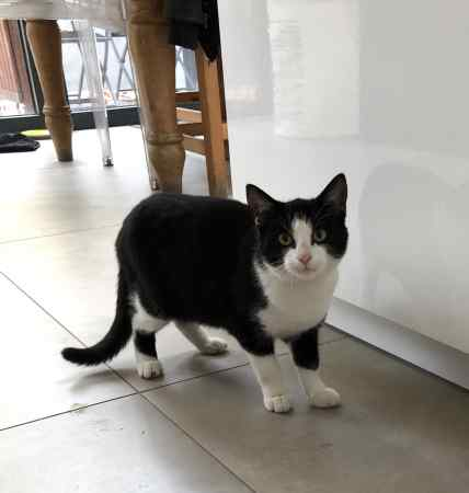 Found British Short Hair Cat in Cricklewood