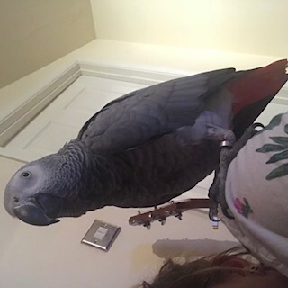 Found Parrot, Parakeet Birds in Slough
