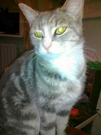 Found Domestic Short Hair Cat in Meopham