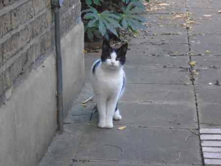 Found Moggy Cat in Battersea