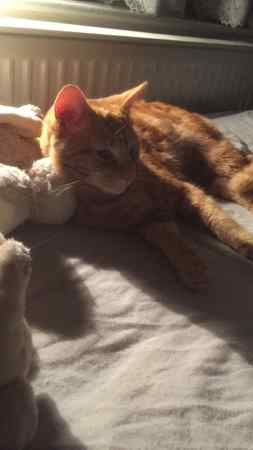 Found Moggy Cat in Gants Hill In East London