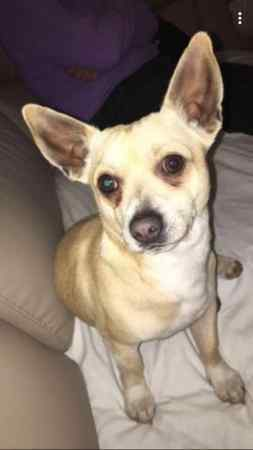 Found Chihuahua Dog in Andover