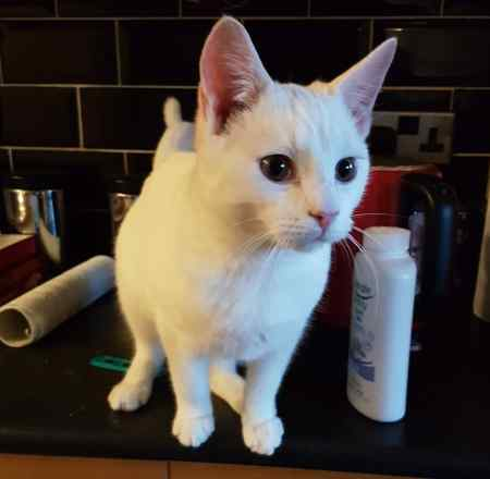 Found Domestic Short Hair Cat in Great Staughton