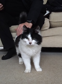 Found Semi-Long Hair Cat in St Albans