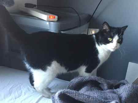 Found Domestic Short Hair Cat in Solihull Damson Wood