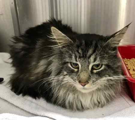 Found Maine Coon Cat in West Norwood
