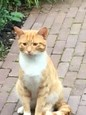 Found Domestic Short Hair Cat in Maidenhead