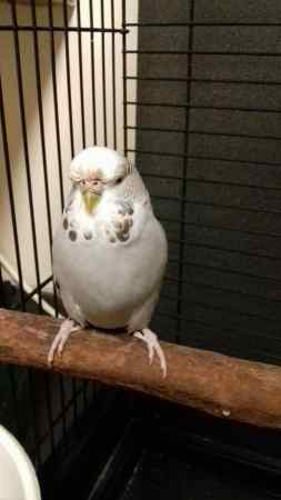 Found Budgie Bird in Wavertree, Liverpool