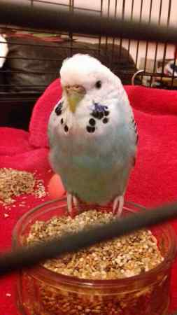 Found Budgie Bird in Litherland, Liverpool