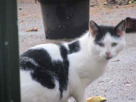Found Moggy Cat in Ilkeston