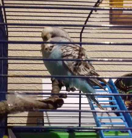 Found Budgie Bird in Toxteth, Liverpool
