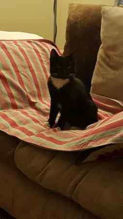 Found Domestic Short Hair Cat in Basildon