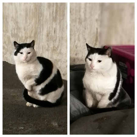 Found Mixed Breed Cat in LONDON
