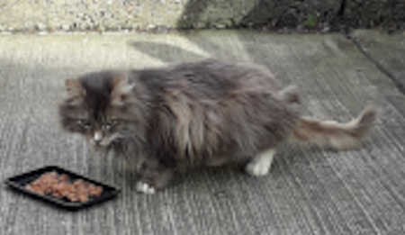 Found Maine Coon Cat in Laindon