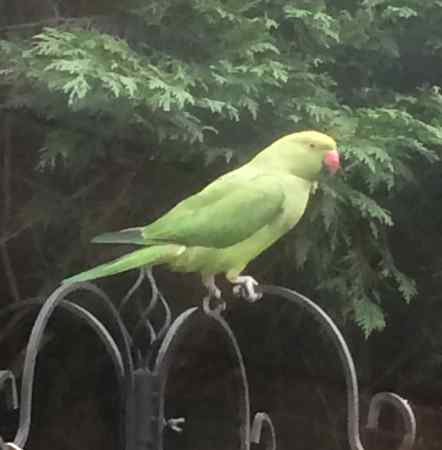Found Parrot, Parakeet Birds in Peterborough