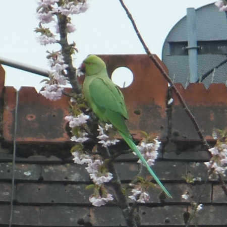 Found Parrot, Parakeet Birds in Maidenhead