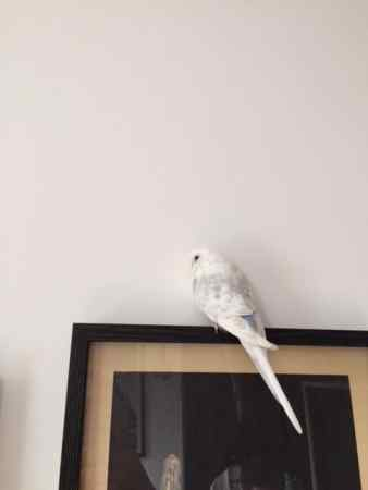 Found Budgie Bird in Leytonstone / Forest Gate