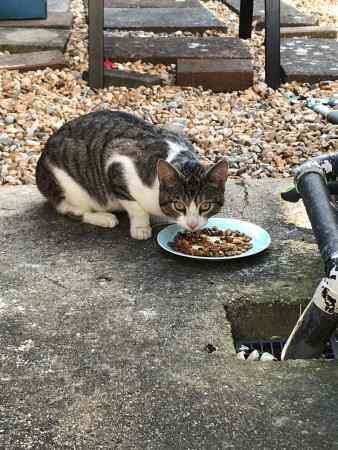 Found Tabby Cat in Fratton