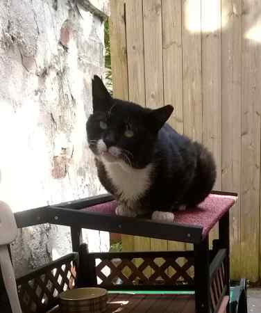 Found Domestic Short Hair Cat in Derby