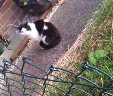 Found Moggy Cat in Dartford