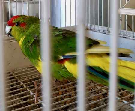 Found Parrot, Parakeet Bird in Slough