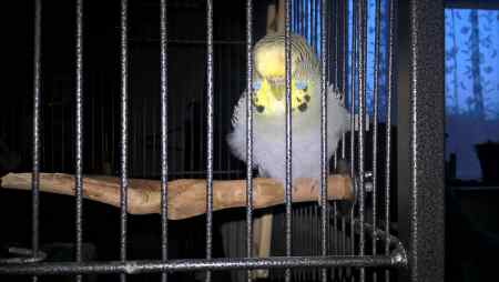Found Budgie Bird in Weston-Super-Mare