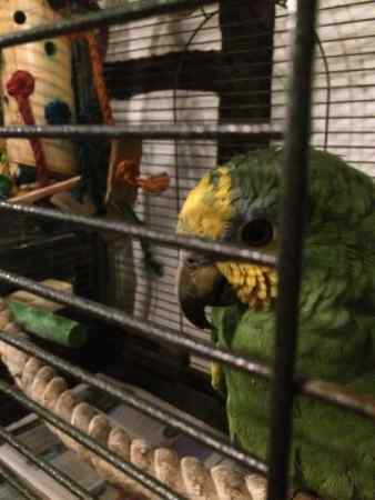 Found Parrot, Parakeet Bird in Aylesbury