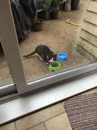 Found Domestic Short Hair Cat in Kirkby-in-Ashfield