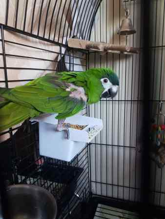 Found Parrot, Parakeet Bird in Runcorn
