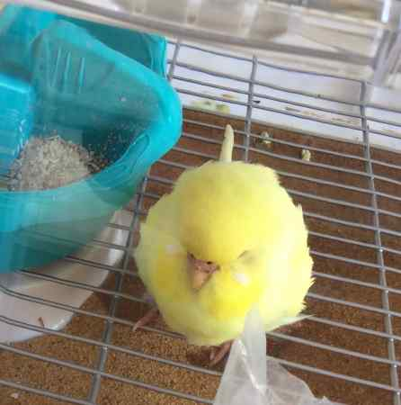 Found Budgie Bird in Streatham Vale