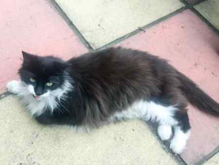 Found Semi-Long Hair Cat in Southgate, London