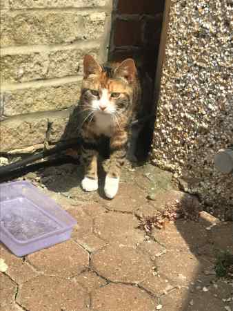 Found Tortoiseshell Cats in Newbury Par Ilford