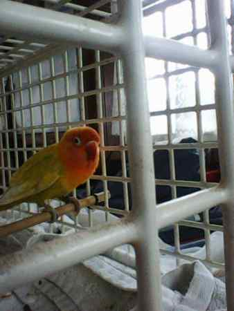 Found Lovebird Bird in Wallasey