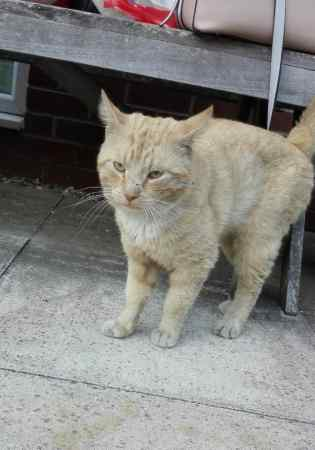 Found Domestic Short Hair Cat in Milton Keynes