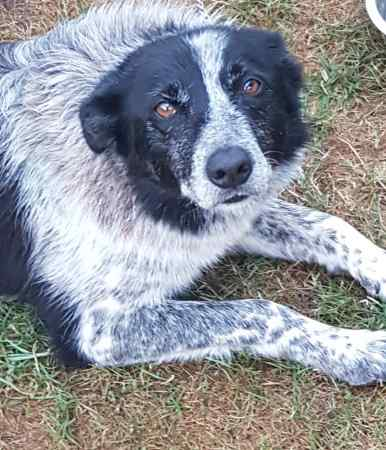 Found Collie Dog in Llantillio Crossenny