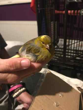 Found Canary Birds in Weoley Castle, Birmingham