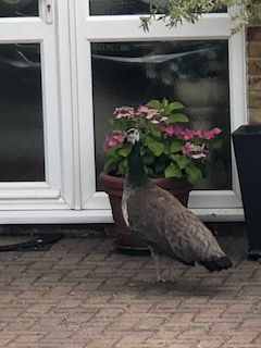 Found Peacock Bird in Bracknell