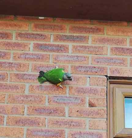 Found Parrot, Parakeet Bird in Ellesmere Port