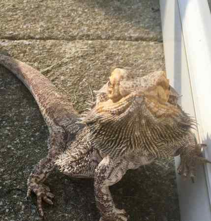 Found Lizard Exotic in ST.Leonards On Sea