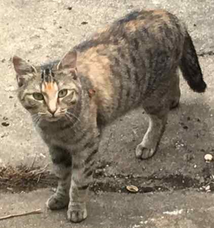 Found Domestic Short Hair Cat in Westcliff-on-sea