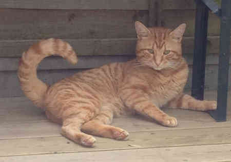 Found Domestic Short Hair Cat in SURBITON