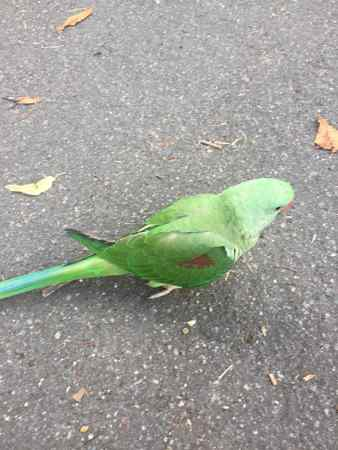 Found Parrot, Parakeet Bird in Crystal Palace