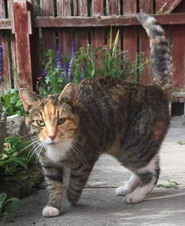 Found British Short Hair Cat in Cottam, Preston