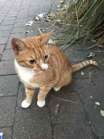 Found Domestic Short Hair Cat in London